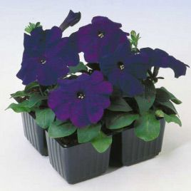 Ламбада F1 синяя семена петунии мультифлора (Hem Zaden)
