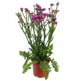Розовое сияние семена статицы (Hem Zaden)