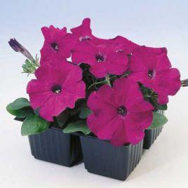 Ламбада F1 фиолетовая семена петунии мультифлора (Hem Zaden ПН)