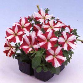 Ламбада F1 красная звезда семена петунии мультифлора (Hem Zaden)