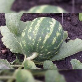 Тажура F1 семена арбуза тип Кримсон Свит раннего 65 дней 10-12 кг (Гавриш) НЕТ ТОВАРА