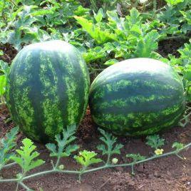 Бонд F1 семена арбуза тип Кримсон Свит раннего 8 кг (Cora Seeds)