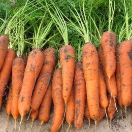 морковь трафорд f1