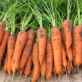Трафорд F1 (1,8-2,0) семена моркови Флакке среднепоздней 140 дн. (Rijk Zwaan)