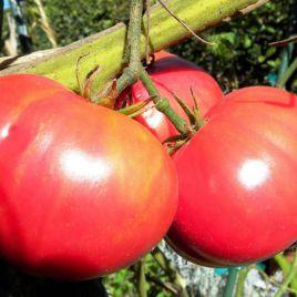 Фламинго F1 семена томата дет. 61-65 дн. роз. окр. 220-260 гр. (Dorsing Seeds)