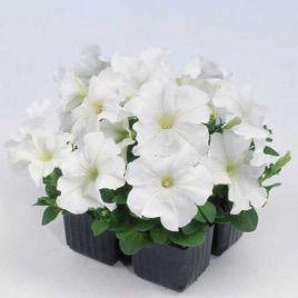 Мамбо F1 белая семена петунии мультифлора (Hem Zaden)
