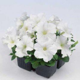 Мамбо F1 белая семена петунии мультифлора (Hem Zaden ПН)