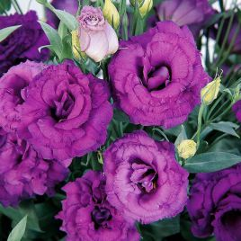 АВС 3 F1 пурпурная семена эустомы махровой дражированные (Pan American СДБ)