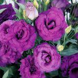 Эустома АВС 3 F1 пурпурная (фиолетовая)