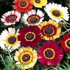 Меркурий Mix семена хризантемы килеватой (Kitano Seeds НЕТ СЕМЯН