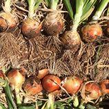 Каоба F1 семена лука репчатого раннего (Enza Zaden)