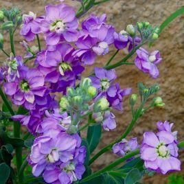 Эксельсиор фиолетовый семена левкоя (Hem Zaden) НЕТ ТОВАРА