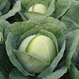 Тиара F1 семена капусты б/к ультраранней 53-56дн. 2кг окр. (Bejo)