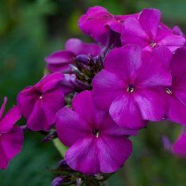 Этни пурпурно-фиолетовый семена флокса Друммонда (Pan American)