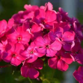 Этни темно-розовый семена флокса Друммонда (Pan American)