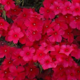 Этни красный семена флокса Друммонда (Pan American)