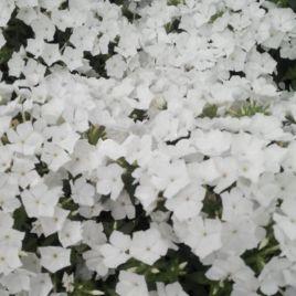 Этни белый семена флокса Друммонда (Pan American)