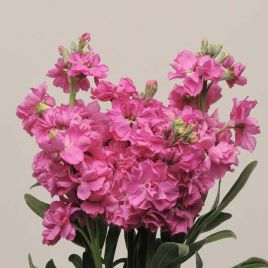 Кетс розовая семена левкоя на срез (Pan American)