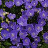 Жемчужина темно-синяя семена колокольчика (Benary)
