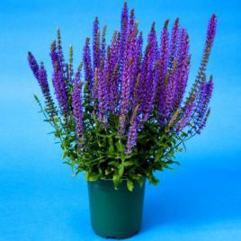 Мерло синяя семена сальвии (Syngenta)