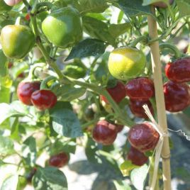 Черри Файр F1 семена перца горького раннего окр. зел./красн. (United Genetics)