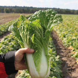 Ориент Стар F1 (калибр.) семена капусты пекинской ранней 55 дн. 1-2 кг (Takii Seeds)