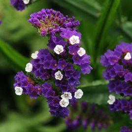 КИС пурпурный семена кермека (Pan Amercan)