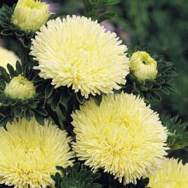 Гала желтая семена астры на срез игольчастой однол. (Benary)