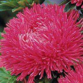 Гала карминно-розовая семена астры на срез игольчастой однол. (Benary)