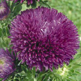 Гала пурпурная семена астры на срез игольчастой однол. (Benary)