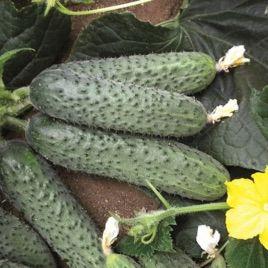 Солон F1 семена огурца партенокарп. среднего 13-14 см (Yuksel)