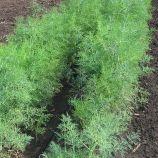 Терни семена укропа (Agri Saaten)