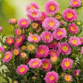 Арлекин розовой семена астры на срез однол. (Satimex)