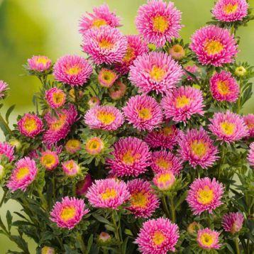 Астра Арлекин розовая (Pink)