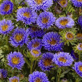 Арлекин синий семена астры на срез однол. (Satimex)