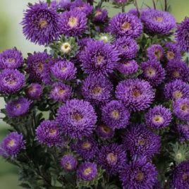 Арлекин фиолетовой семена астры на срез однол. (Satimex)