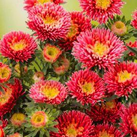 Арлекин ярко-красной семена астры на срез однол. (Satimex ПН)