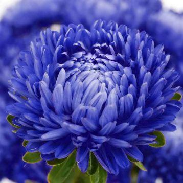 Астра Леди Коралл синяя