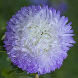 Балун серебряно-синий семена астры на срез однол. (Satimex)