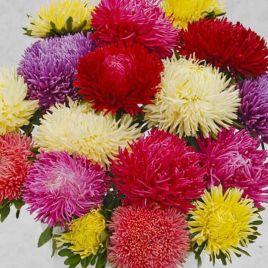Шанхайская роза смесь семена астры однол. (Satimex)