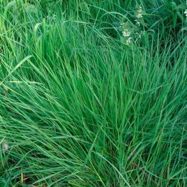 Райграс багаторичний семена (Украина)