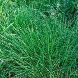 Райграс многолетний семена (Украина)