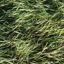 Полевица побегоносная Кроми семена (Украина)