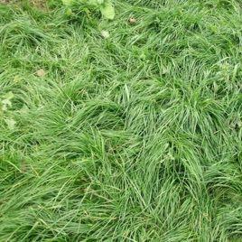 Райграс многолетний Матильда семена (Украина)