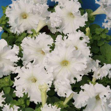 Крайкови завой F1 семена петунии крупноцветковой бахромчатой (Johnsons Seeds) НЕТ ТОВАРА