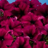 Аладдин F1 бургунди семена петунии грандифлора (Benary)