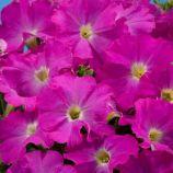 Аладдин F1 неоново-розовый семена петунии грандифлора (Benary)