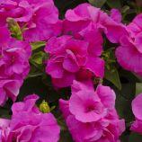 Дуо F1 розовая семена петунии махровой мультифлора (Pan American)