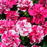 Петунія Дуо рожево-біла