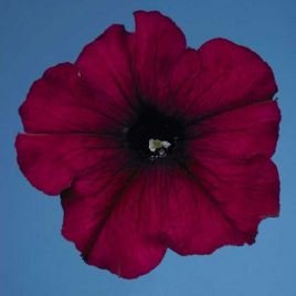 Селебрети F1 бургунди семена петунии мультифлора (Benary)
